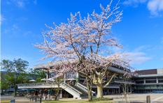 写真 - ロームシアター京都 桜 中庭